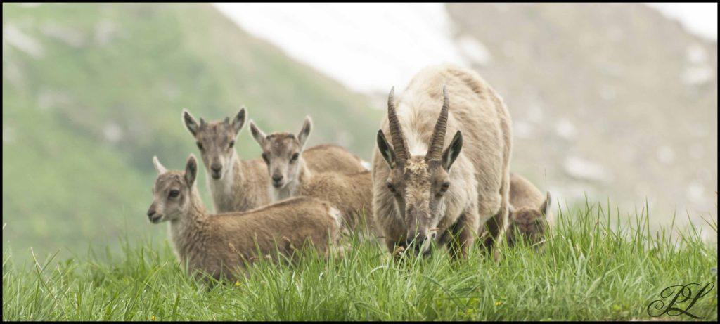 une famille de bouquetins sur les hauteurs du grand bornand. Photo offerte par un hôte de la Chèvrerie.